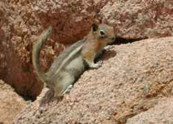 Chipmunk closeup